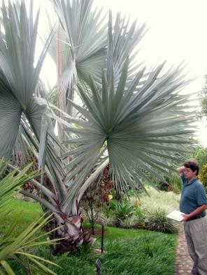 Gigantic palmettos!