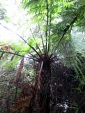 Tree-sized ferns!