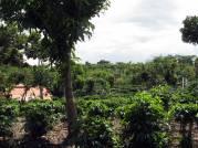Coffee plants galore!