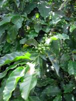 Unripe Arabica coffee fruits