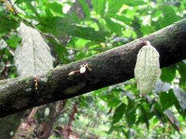 Stages of cacao fruits.