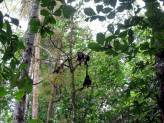 Troop of howler monkeys.