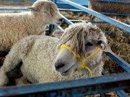 Stylin' sheep