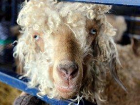 My new goat BFF